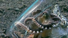 Veined octopus with glass