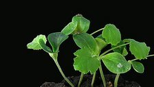 Pumpkin seedlings showing phototropism
