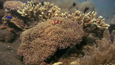 False clown anemonefish