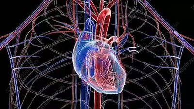 Human heart and circulatory system