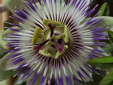 Passion flower opening