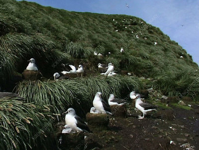 Albatross, South Georgia Island