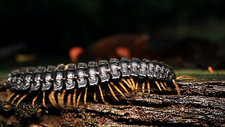 Giant flat-backed millipede