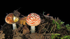 Fly agaric mushrooms growing