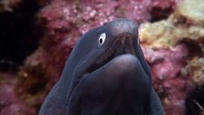 White-eyed moray eel
