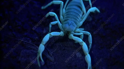 Scorpion in ultraviolet light