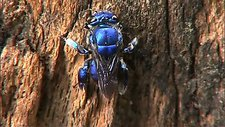 Blue orchid bee climbing