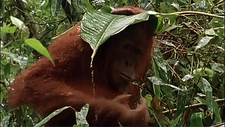 Orangutan using a leaf as an umbrella