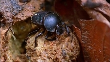 Dung beetle making a dung ball