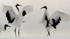 Japanese cranes courting