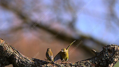 European greenfinches fighting