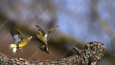 European greenfinches fighting, high-speed