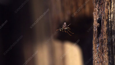 Paper wasp taking off