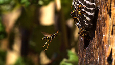 Paper wasp in flight