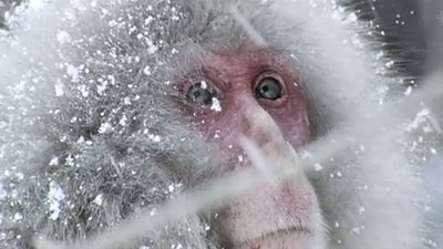 Japanese macaque in snow