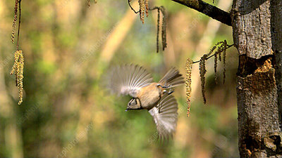 Crested tit in flight, high-speed