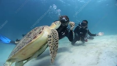 Divers observing a green turtle