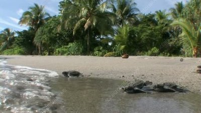 Leatherback turtle hatchlings