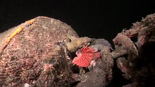 Giant frogfish eating lionfish