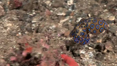 Blue-ringed octopus, Sulawesi