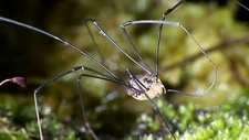 Harvestman cleaning its leg