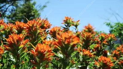 Red paintbrush flowers