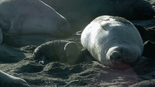 Northern elephant seal mother and pup
