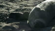 Elephant seal pup suckling