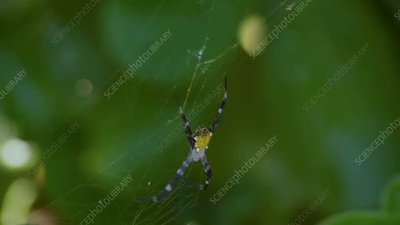 Hawaii garden spider