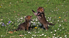 Red fox cubs playfighting