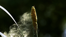 Great reedmace pollen, high-speed