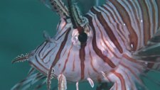 Common lionfish