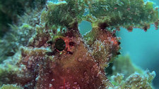 Weedy scorpionfish eyes