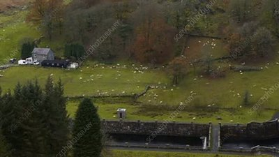 Sheep in a field, timelapse