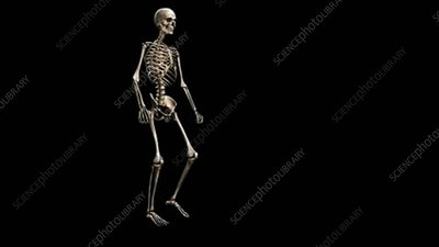 Male skeleton, walking