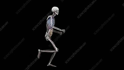 Male body with organs, running