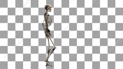 Female skeleton, walking