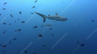 Grey reef shark with fishing line