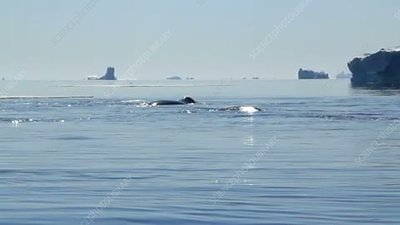 Bowhead whale group, Greenland