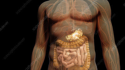 Pathway through Gastrointestinal Tract