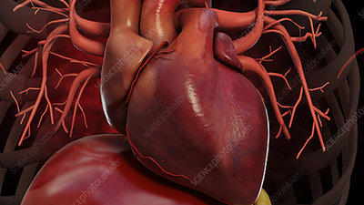 Inside the Human Body: The Heart