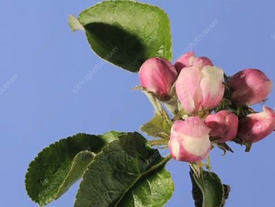 Apple blossom opening and withering
