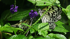 Rice paper butterflies feeding