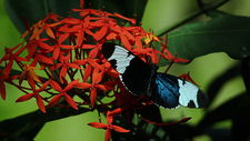 Sapho longwing butterfly feeding