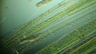 Spirogyra floating in pond water