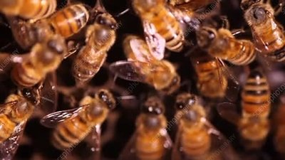 Honeybee performing waggle dance
