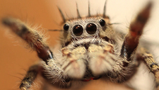 Extreme close up of jumping spider eyes