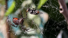 Black widow spider with fly