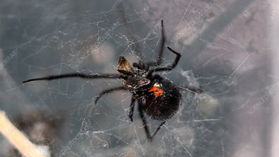 Housefly drops from black widow web