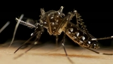 Aedes mosquito feeding